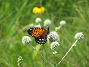 butterflyregalfritillary