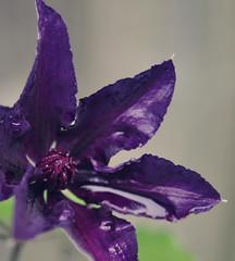 Fleurie (~aspidistra~) Tags: macro garden 50mm nikon purple dwarf clematis d90 fleurie