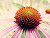 Echinacea (Chickens in the Trees (vns2009)) Tags: pink summer plants flower macro nature rain june day echinacea blossoms daisy coneflower blooms perennial 2010 blooming purpleconeflower echinaceapurpurea coffeeshopaction