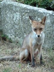 Le renard des Alpilles (Natacha Quester-Séméon (natachaqs)) Tags: leica alpilles renard vlux20