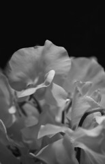 (Katsura under the Full Moon) Tags: flower color blackwhite washington farmersmarket july sweetpea bouquet   lathyrusodoratus  poisdesenteur