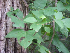 poison ivy Photo