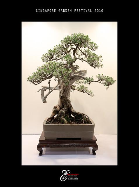 Bonsai - 002