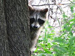 [フリー画像] 哺乳類, アライグマ科, アライグマ, 覗く, 201007211100