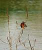 Kingfisher (mwkls (on catchup)) Tags: england nikon kingfisher warwickshire 14tc brandonmarsh nikkor300mmf4 d300s carltonhide