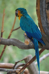 Blue-and-yellow Macaw (Jim Skovrider) Tags: bird nature animal denmark zoo nikon sigma parrot fugl danmark dyr araararauna blueandyellowmacaw d90 nikonsigma nikond90 papagje reepark sigmaphoto gulblara apo150500mmf563dgoshsm 150500mmf563 150500mmf563apodgoshsm
