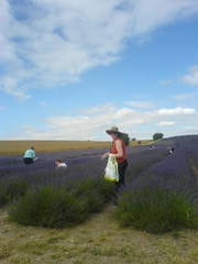 Workers in the field (JustABoy) Tags: lavender hitchin ickleford 180710