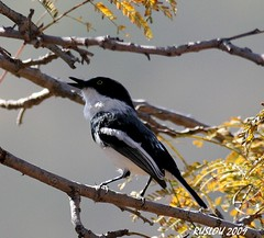 Male Chinspot Batis (Batis molitor) (ruslou (More off than on)) Tags: bird nature southafrica chinspotbatis batismolitor warmbaths ruslou belabela zwartkloofprivategamereserve witliesbosbontrokkie