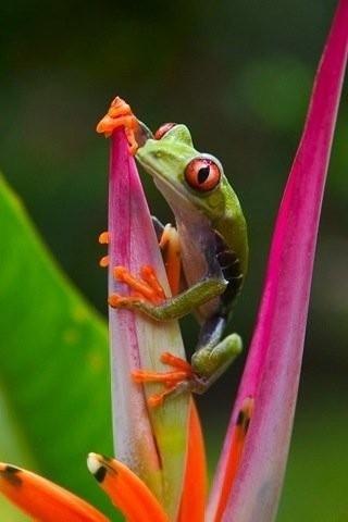 Tree Frog :D