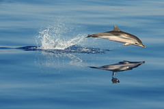 Dolphin in the Tyrrhenian sea (domenicosavi photographer) Tags: sea dolphin tyrrhenian