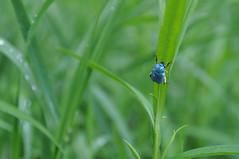 Hoplie (Little Lynx) Tags: bug insect bleu loire insecte loiret coleoptère hoplie