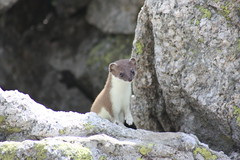 Speedy Gonzalez (Elysium 2010) Tags: travel vacation mountain mountains alps nature animal animals alpes canon fun wiesel weasel alpen montblanc funnyanimal speedygonzalez belette mountainwilderness fenêtredarpette