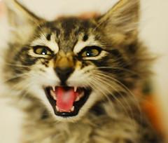 bagel (Spenser.Cat) Tags: brown cute cat kitten tabby kittens s gato spca  katzen gatti katz 2010 sfspca gati mo ghatino