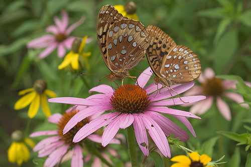 Babler State Park, in Wildwood, Missouri, USA - two butterflies on coneflower
