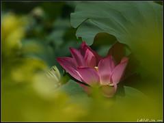 黃綠紅 (LoBsTeRbig) Tags: flower lotus m42 ep1 荷花 pentacon13528 p72210831
