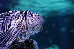 |Scorpion fish| (<ZOLEE/>) Tags: fish macro nature aquarium amazing marine underwater budapest scorpion exotic tropical hal seaworld rz 2010 tropicarium srkny ilovemypic skorpi 1000d  vejuel