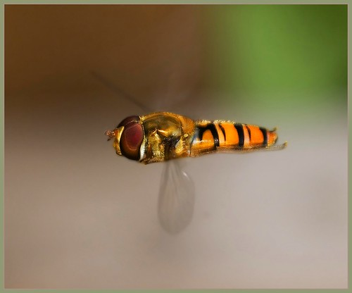 Hover fly close up - approximately three times life size - syrphus ribesii.