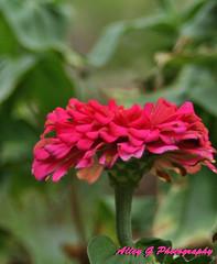Pink Zinnia (elitegymnast05) Tags: pink flower nature leaf stem zinnia