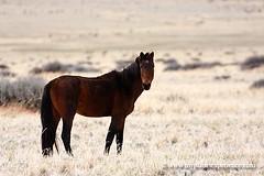 Namibia experience : wild horse of Namib (My Planet Experience) Tags: africa safari afrika namibia wildhorses chevaux afrique namibie lderitz garub