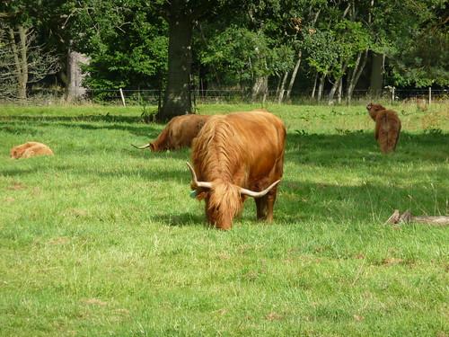 Highland Cattle at Glamis Castle