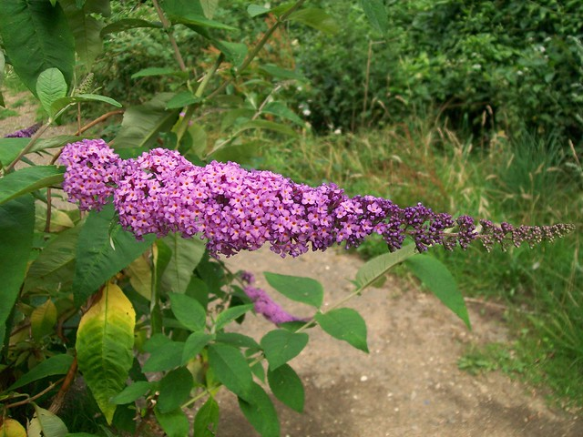 Photo: Butterfly-bush