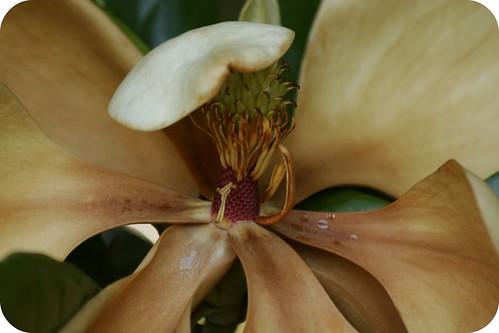 fading magnolia