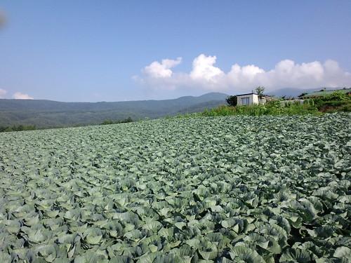 夏の嬬恋らしいキャベツ畑と青い空