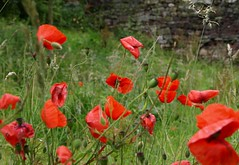 Poppy field (Tony Worrall) Tags: wycollercountrypark wycoller nature natural out outside lancs lancashire northwest green grass poppy field red flower grown plant color colours growth wild england uk scenic scene beauty nice beautiful
