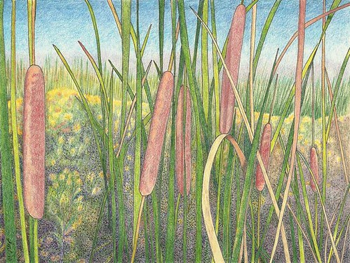 Cattails, ink, colored pencil