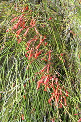 Russelia_equisetiformis_14_1 (Mark Egger) Tags: plantaginaceae russeliaequisetiformis formerlyscrophulariaceae