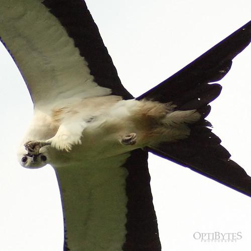 Swallow-Tailed Kite 24