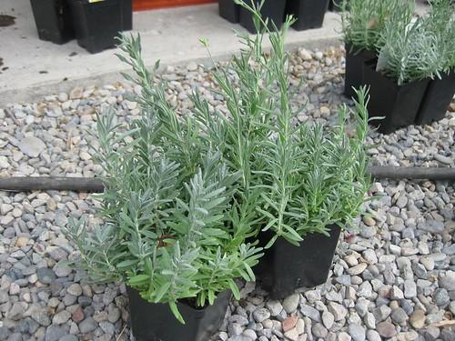 Dwarf lavender