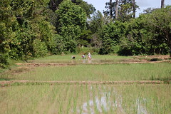 Rice field workers (Laura Sanderman) Tags: asia cambodia seasia southeastasia rice siem reap fields siemreap ricefields wetricefields