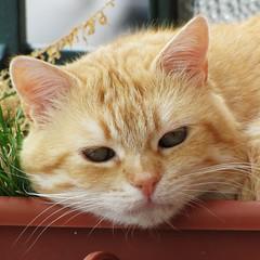 ciccio (archifra -francesco de vincenzi-) Tags: italy cat chat gato gatto ciccio ohhh molise isernia otw katzte flickraward estremit archifraisernia francescodevincenzi