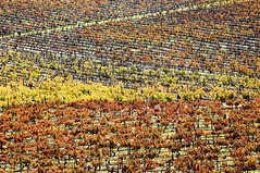 Vineyards in the fall (MANUEL RIBEIRO photography) Tags: autumn red orange plants color green fall portugal nature leaves yellow horizontal rural train season landscape countryside leaf vineyard colorful warm mediterranean bright farming seasonal vivid vine sunny nobody row line pole trellis foliage distributed lush agriculture alentejo grapevine agricultural stake leafage aligned isyndica