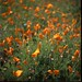 Columbia Slough Poppy Meadow