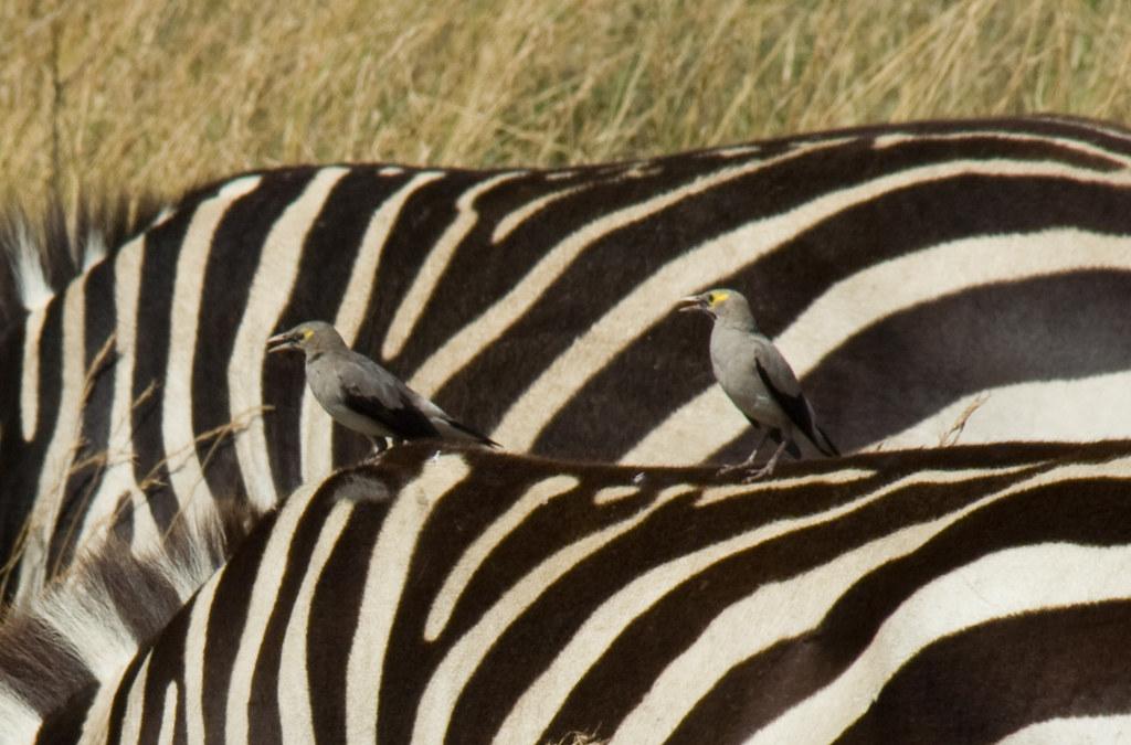 Wattled Starlings on Grant's Zebras - Maasai Mara, Kenya