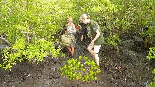 Planting mangrove seedlings