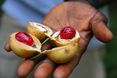 Nutmeg (misstomatoo) Tags: pink red tanzania spice zanzibar nutmeg muskot