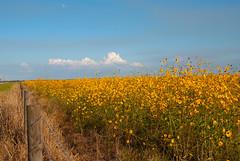 Glades County SR 78 (floridahikes) Tags: county nature outdoors florida hiking parks sunflowers recreation 78 sr glades ortona sr78 travekl floridahikes