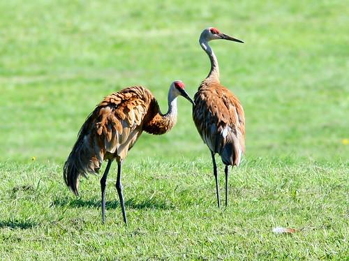 Sandhill Cranes 3-20100815