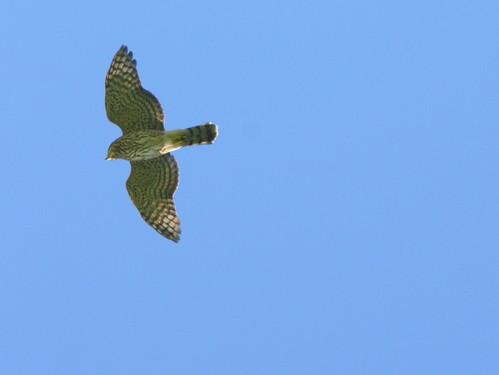Cooper's Hawk 20100815
