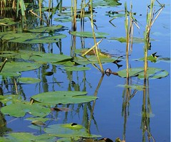 Water lilies and reeds (rowanlea51) Tags: summer scotland fishing rivers trust loch pike pontoon ayrshire pikefishing lochfergus