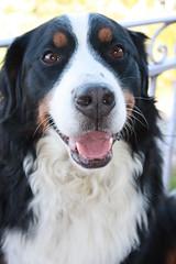 LOUNA (Loupsi ghislaine) Tags: dog chien bernois bouvier