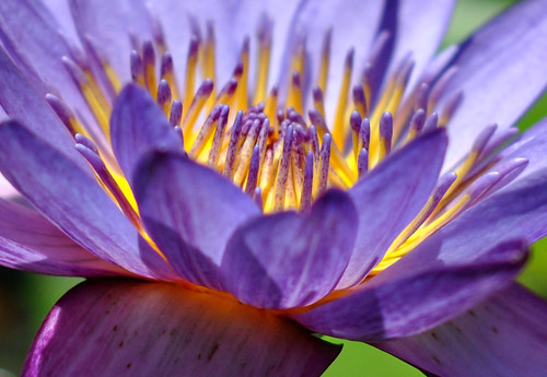 Purple Water Lily  Macro