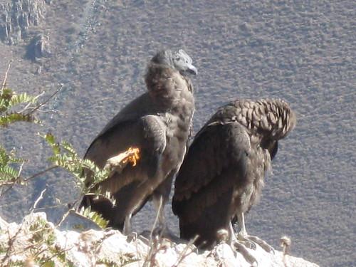 2010-4-peru-223-cabanaconde-cruz del condor