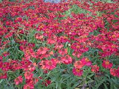 Magenta Flowers (magnuscanis) Tags: flower garden wisley rhs a480 20100813