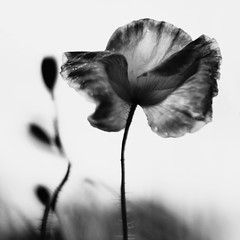 One Step Behind (Olga Gray) Tags: bw white black flower nature floral poppy poppies ccc 500x500 chosenchallengers