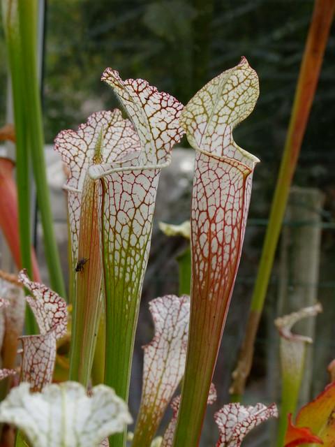 Quelques leucophylla... 4906721981_52d8ae941c_z