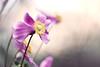it's my 4 year flickrversary today! :)))) (~ geisha ~) Tags: pink flower anemone flickrversary ofcourse